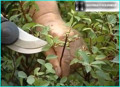 Pruning spiraea
