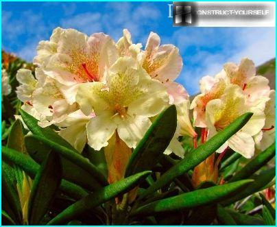 caucasica rododendro