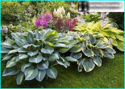 "Elegant ""cushion"" variegated host"