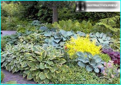 Variegated foliage Dekorativnolistvennye host