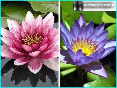 Deep water lilies