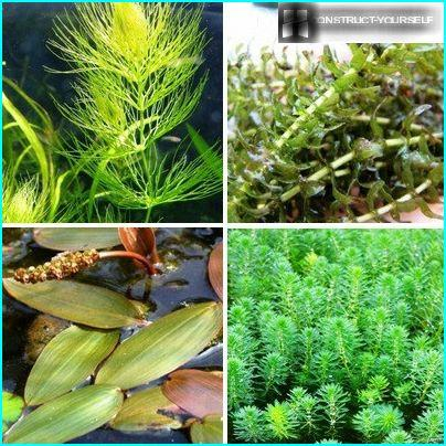 The most attractive forms of plant-oxygenators
