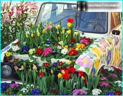 Plankumains kompānija pavasara prīmulas neparastā puķu dārzs