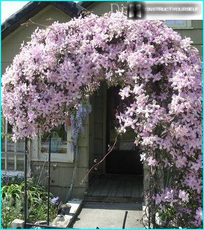 Arch of clematis to decorate the main entrance