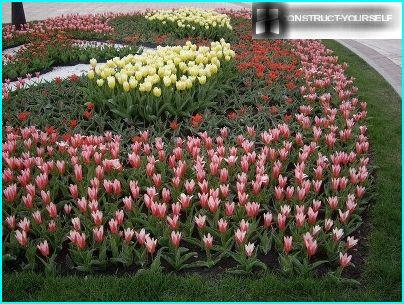 Flower bed of tulips