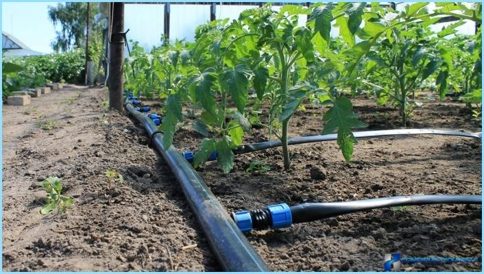 Drip irrigation in the greenhouse with their hands