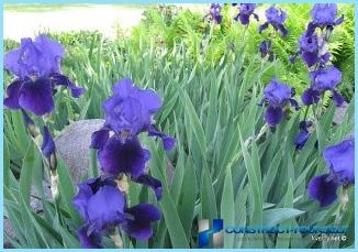 How to plant a hedge of iris