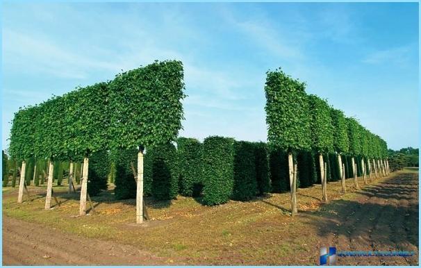 Yhteinen piikkipalkki pensasajoille