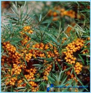 Make a hedge of sea buckthorn