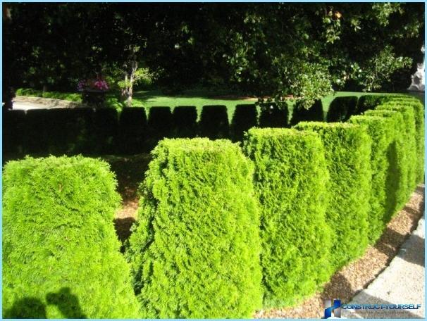 Hurtigt voksende nåletræer til hegn