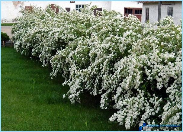 Planting spirea gray for hedges