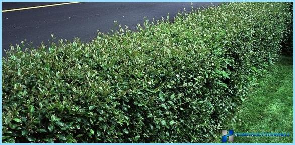Planting of cotoneaster for hedges