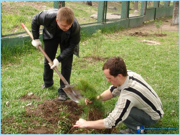 Piantare pino ordinario per siepi
