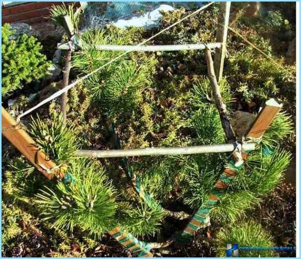 Plantning af almindelig fyr til hegn