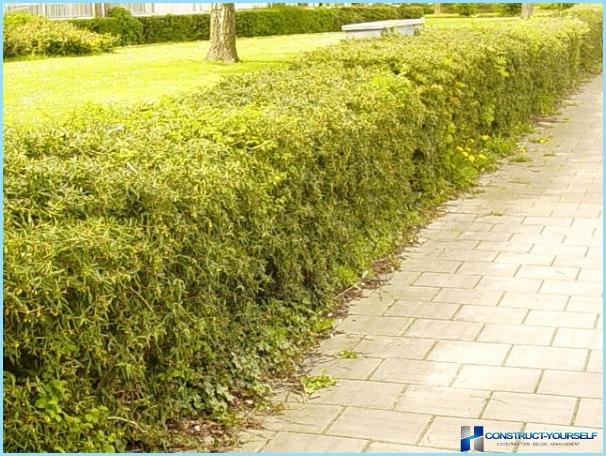 Planting of barberry for hedges