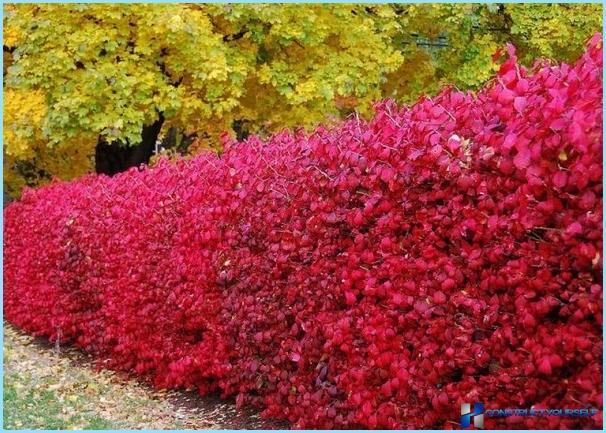 Plantning af bær til hegn
