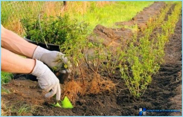 Planting physocarpus for hedges