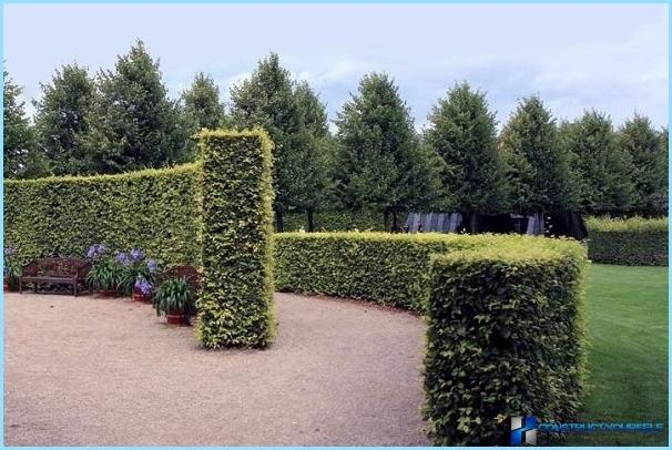Linden hedge