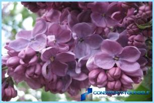 A hedge of lilac