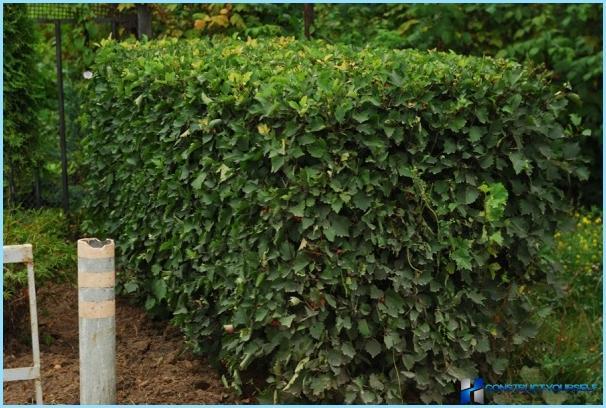 Sådan plantes en hæk af hagtorn