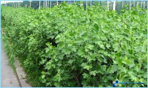 A hedge of currant photo