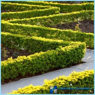 Acacia yellow for hedges