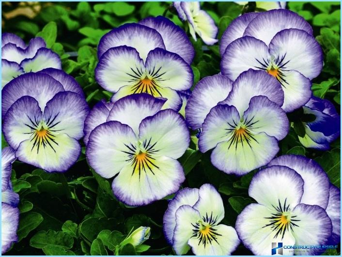 Planter og blomster til den alpine bakke