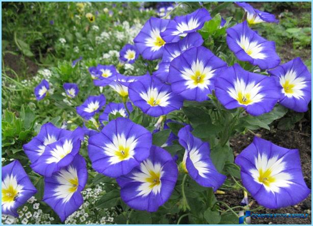 Augi un ziedi Alpu kalnam