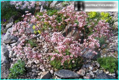 Saxifrage kivisessä puutarhassa