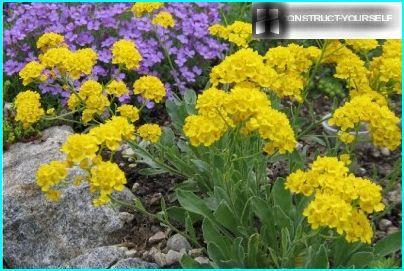 Alissum-kallioisella on hunaja-aromi