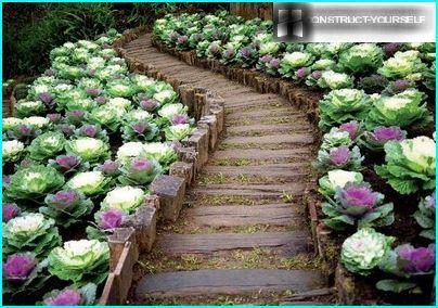 Dekorativ kål - farverige streger på en grøntsagsbed