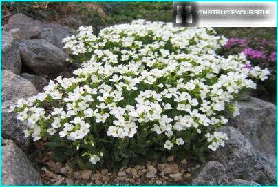 Valkoihoinen arabis kukkii rehevä pilvi valkoisia kukkia