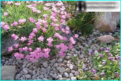 Alpine carnation in the flower bed