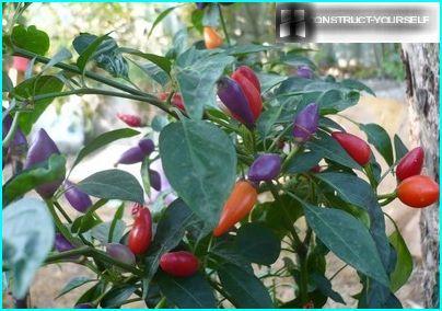 Dekorative sorter af varm peber