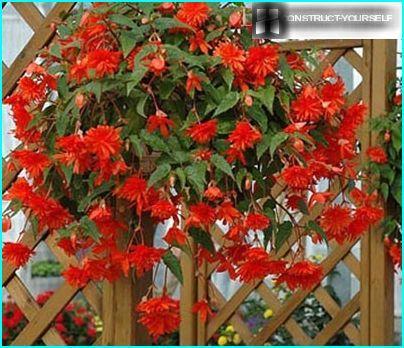 Ampel begonia