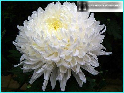 Chrysanthemum - Dronningen af bolden