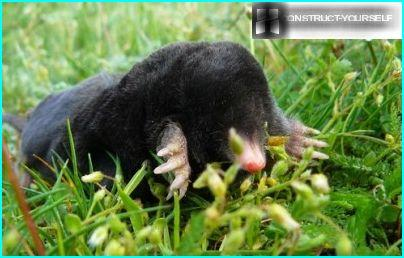 A mole on the lawn