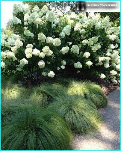 Blomstrende hortensia