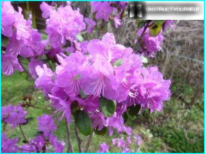 Rhododendron Ledebour