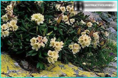 Kaukasian Rhododendron