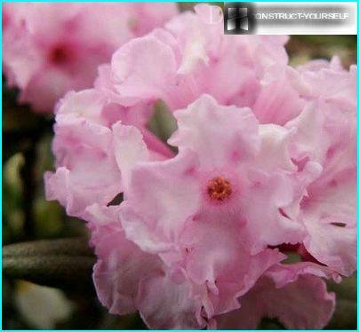 Rhododendron adams