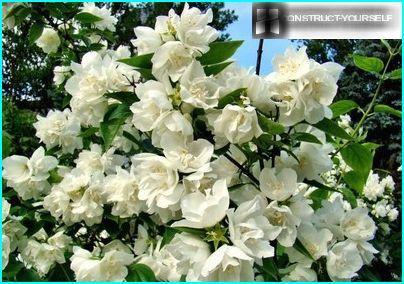Cespuglio di gelsomino in fiore