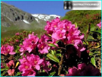 Rhododendron ruosteinen