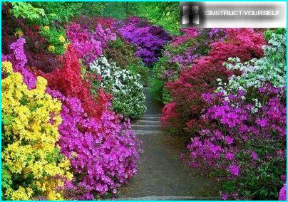 The richness of colors of rhododendrons