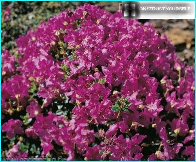 Houkutteleva rododendron