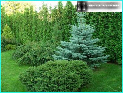 Composition with blue spruce