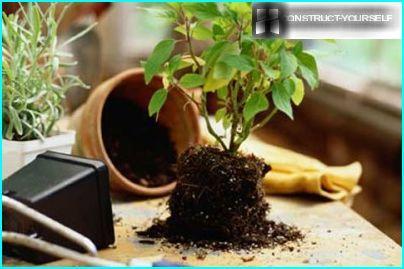 Les plantes se sentent bien précisément dans des pots en argile non transformés