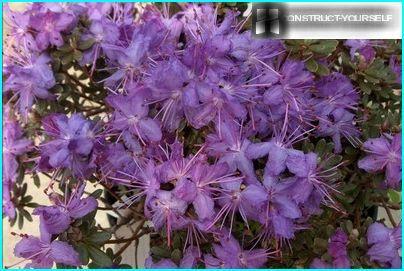 Rhododendron on tiukka