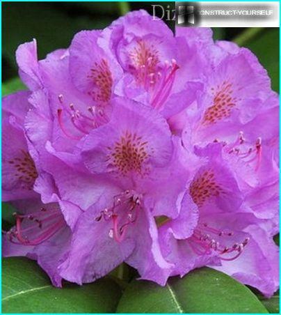 Katevbinsky Rhododendron
