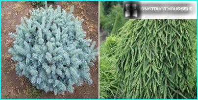 Blue spruce and Norway spruce